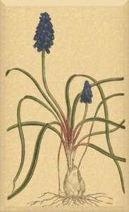 Balandžio 6 dienos gėlė: Muskaris