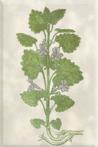 Balandžio 8 dienos gėlė: Gebenė