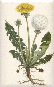 Balandžio 11 dienos gėlė: Pienė