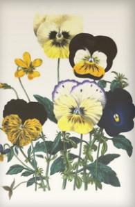 Balandžio 10 dienos gėlė: Blyškioji našlaitė