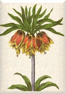 Balandžio 4 dienos gėlė: Margutė