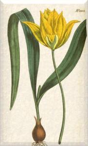 Balandžio 16 dienos gėlė: Geltonoji tulpė