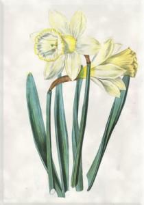 Balandžio 18 dienos gėlė: Ilgažiedis narcizas