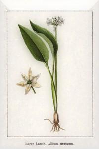 Balandžio 19 dienos gėlė: Laukinis česnakas