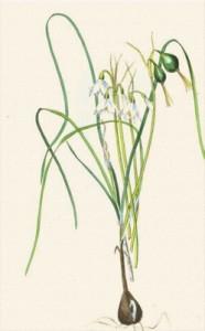 Balandžio 20 dienos gėlė: Pavasarinė snieguolė