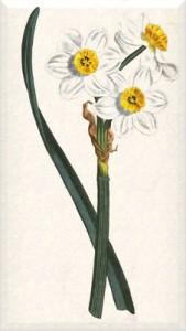 Balandžio 21 dienos gėlė: Kipro narcizas