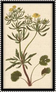 Balandžio 22 dienos gėlė: Vėdrynas