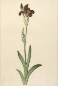Gegužės 28 dienos gėlė: Barzdotasis vilkdalgis