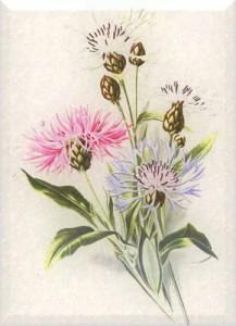 Gegužės 29 dienos gėlė: Rugiagėlė