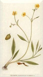Gegužės 30 dienos gėlė: Dedervinis vėdrynas