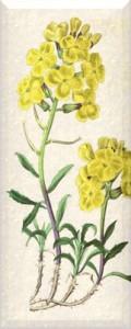 Balandžio 26 dienos gėlė: Barborytė