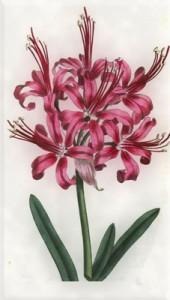 Rugpjūčio 30 dienos gėlė: Amarilis