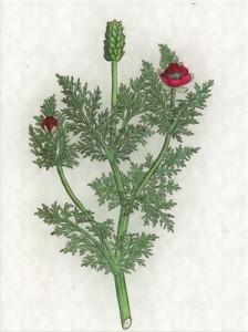Rugpjūčio 31 dienos gėlė: Rudeninis adonis