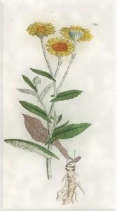 Rugsėjo 3 dienos gėlė: Paparastoji muskrėslė