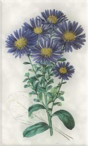 Rugsėjo 8 dienos gėlė: Itališkasis astras