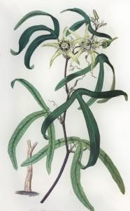 Rugsėjo 12 dienos gėlė: Pasiflora