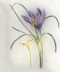 Rugsėjo 13 dienos gėlė: Daržinis krokas