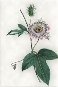 Rugsėjo 14 dienos gėlė: Pasiflora