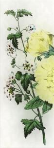 Rugsėjo 17 dienos gėlė: Piliarožė