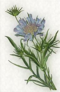 Rugsėjo 19 dienos gėlė: Žvaigždūnė
