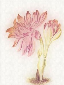 Rugsėjo 20 dienos gėlė: Rudeninis vėlyvis