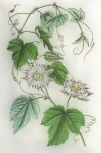 Rugsėjo 21 dienos gėlė: Pasiflora