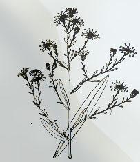Rugsėjo 23 dienos gėlė: Krūminis astras