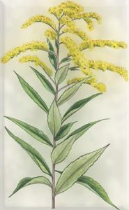 Rugsėjo 26 dienos gėlė: Didžioji rykštenė