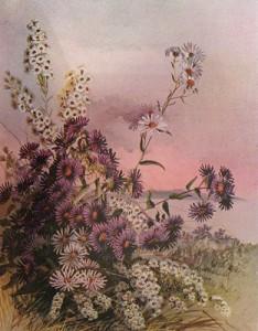 Rugsėjo 27 dienos gėlė: Daugiažiedis astras