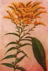 Rugsėjo 28 dienos gėlė: Rykštenė