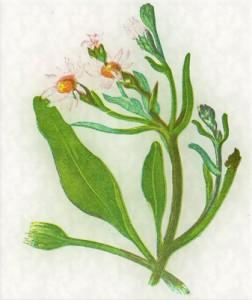 Rugsėjo 29 dienos gėlė: Rudeninis astras