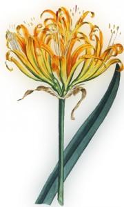Rugsėjo 30 dienos gėlė: Auksinis amarilis