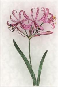 Spalio 1 dienos gėlė: Amarilis