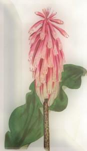 Spalio 10 dienos gėlė: Aletris