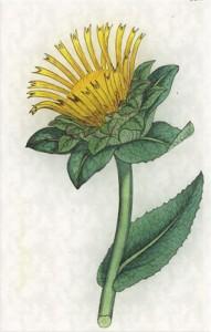 Spalio 3 dienos gėlė: Debesylas