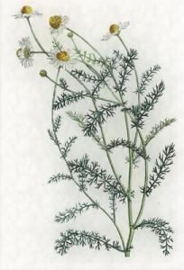 Spalio 6 dienos gėlė: Skaistenis