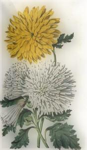 Spalio 7 dienos gėlė: Indiškoji chrizantema