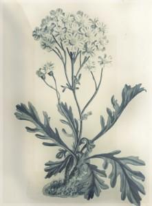 Spalio 8 d. gėlė: Kraujažolė