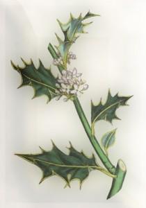 Spalio 11 dienos gėlė: Dyglialapis bugienis
