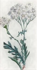 Spalio 13 dienos gėlė: Debesylas