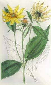 Spalio 17 dienos gėlė: Saulėgrąža