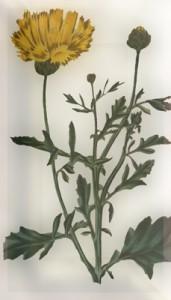 Spalio 20 dienos gėlė: Geltonoji bajorė