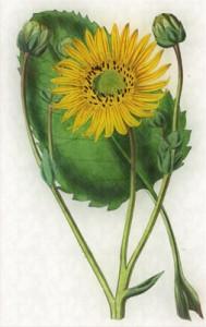 Spalio 21 dienos gėlė: Legestas