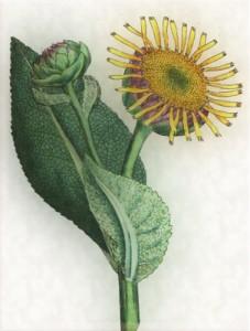 Spalio 23 dienos gėlė: Astras