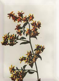 Spalio 26 dienos gėlė: Vėlyvoji rykštenė