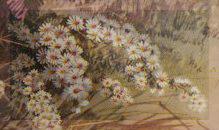 Spalio 27 dienos gėlė: Daugiažiedis astras