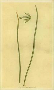Spalio 29 dienos gėlė: Žalsvažiedis narcizas