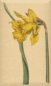 Balandžio 27 dienos gėlė: Didysis narcizas