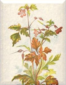 Balandžio 29 dienos gėlė: Pelargonija