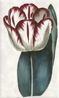 Gegužės 1 dienos gėlė: Tulpė